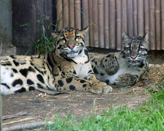 Clouded leopard 104