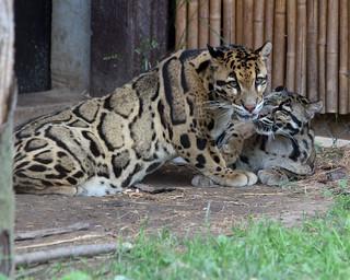 Clouded leopard 89