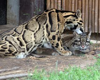 Clouded leopard 85