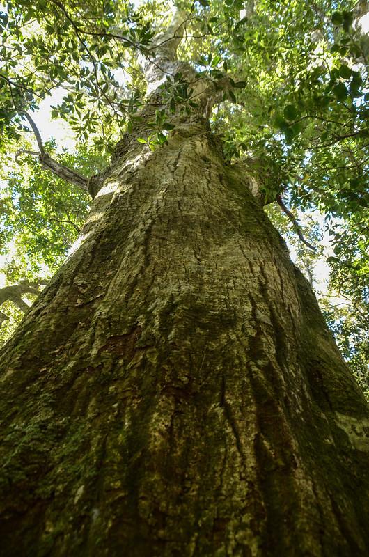 鐵本山巨木 (11)