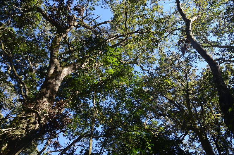 鐵本山巨木 (5)