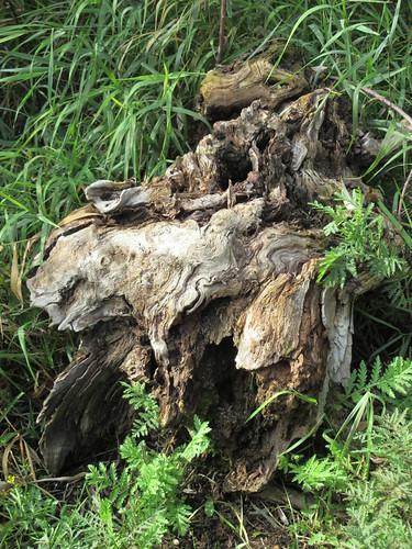 tree trunk gnarled shuswap salmon arm bc british columbia canada