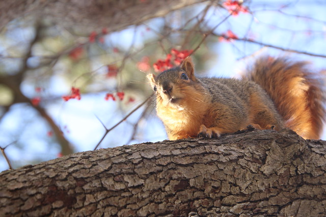 Fox Squirrels on a Winter's Day in Ann Arbor at the University of Michigan - January 15th, 2020