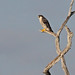 Flickr photo 'Peregrine Falcon (Falco peregrinus)' by: Mary Keim.
