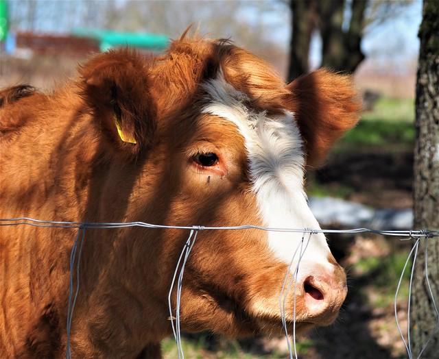 Germany - Calw on a Pasture in the Taunus Hills near Frankfurt am Main