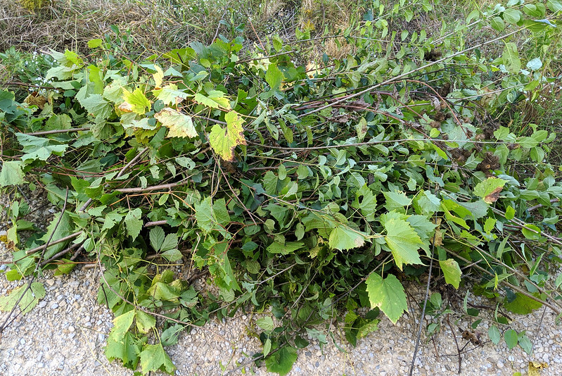A pile of mostly grapevines and some buckthorn.