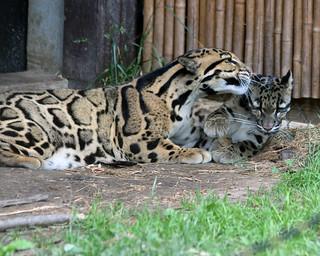 Clouded leopard 84
