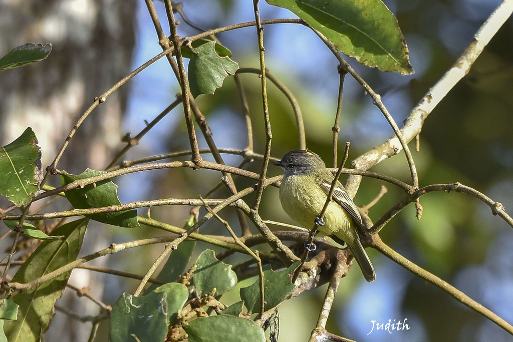 Élénie de Gaimard - Forest Elaenia - Myiopagis gaimardii
