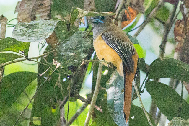 Red-naped Trogon  - female