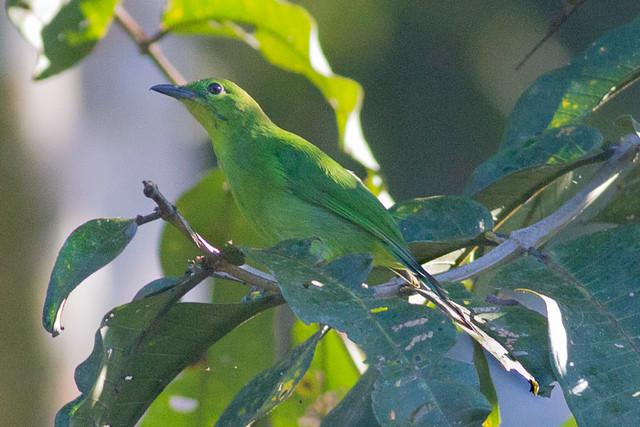 Green Leafbird - female