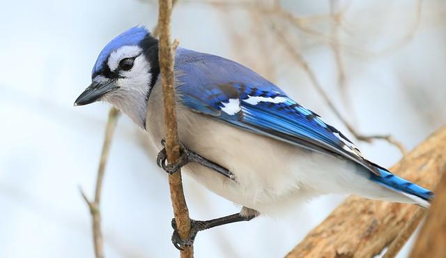 blue jay at Lake Meyer Park IA 653A8970