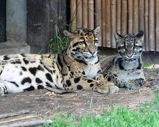 Clouded leopard 114