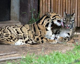 Clouded leopard 96