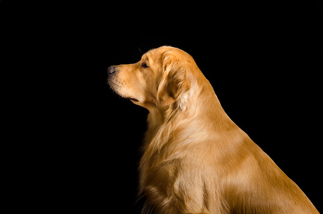 Profile of a Golden