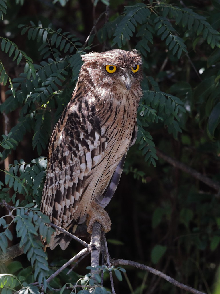 Brown Fish Owl  Ketupa zeylonensis
