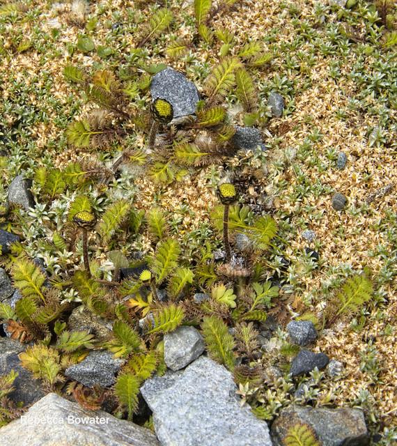 Leptinella squalida sub.sp mediana
