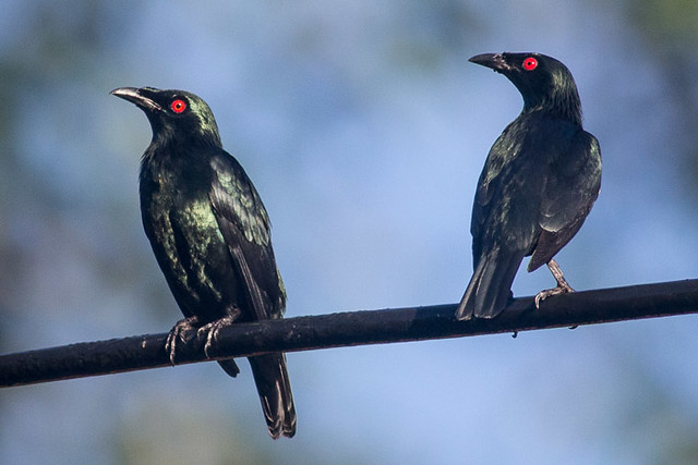 Asian Glossy Starling - adults