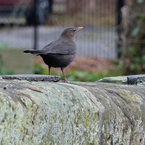 Female blackbird on wall