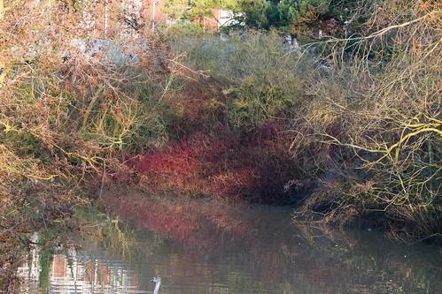 Red reflection: dogwood