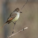 Ash-Throated Flycatcher - Monmouth County, New Jersey