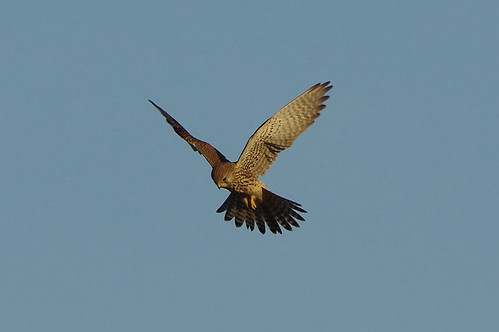 burwellfen cambridgeshire wild bird birdofprey nature wildlife kestrel falcotinnunculus