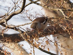 Hawfinch (Coccothraustes coccothraustes, シメ)