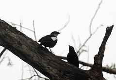 Arnot's chats, Masuku Lodge, Nkanga Conservation Area, Zambia