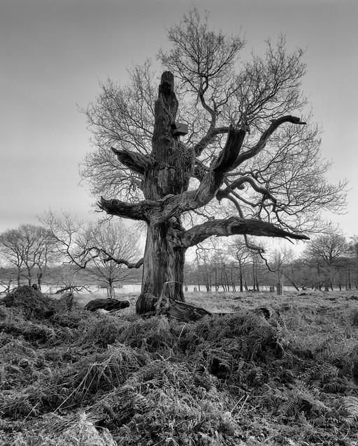 Richmond Park Tree