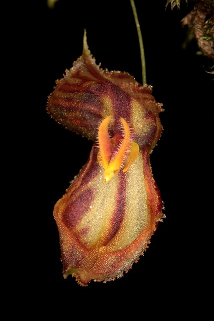 Lepanthes martineae