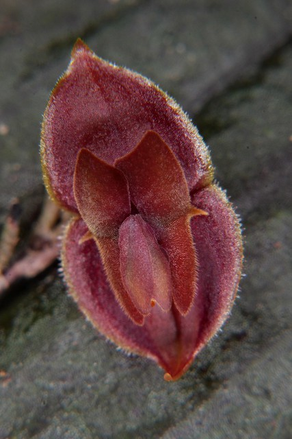 Lepanthes new species ?