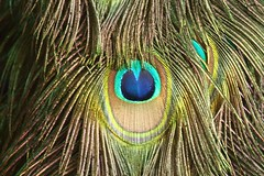 Peacock close-up, Zambia