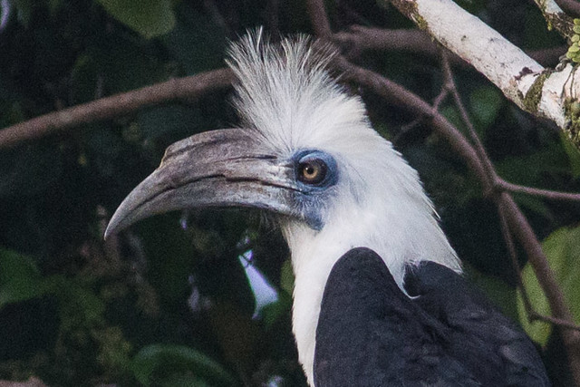 White-crowned Hornbill - male