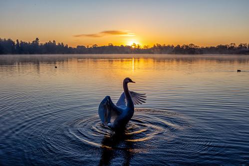 ianwright swan wildlife themere mere ellesmere shropshire dawn sunrise refelction atmospheric water ripples ellesmerephotocouk