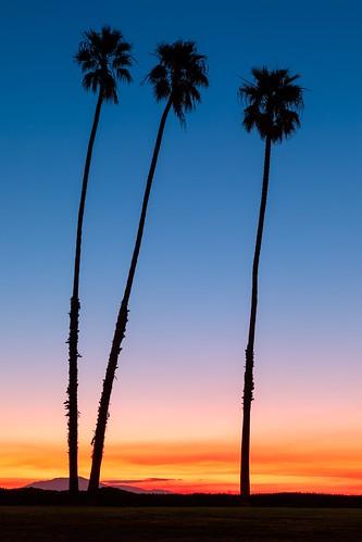 palmtrees california sunrise morning vertical bluesky santabarbara canoneos5dmarkiv canonef2470mmf28lusm nopeople outdoors