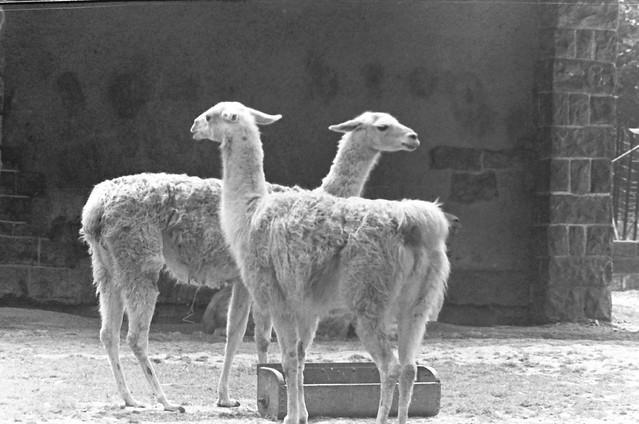 Altes DDR Foto 70er Jahre - Tierpark Berlin, Lamas