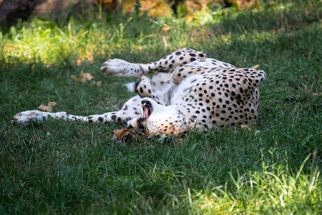 Forgot how to cheetah
