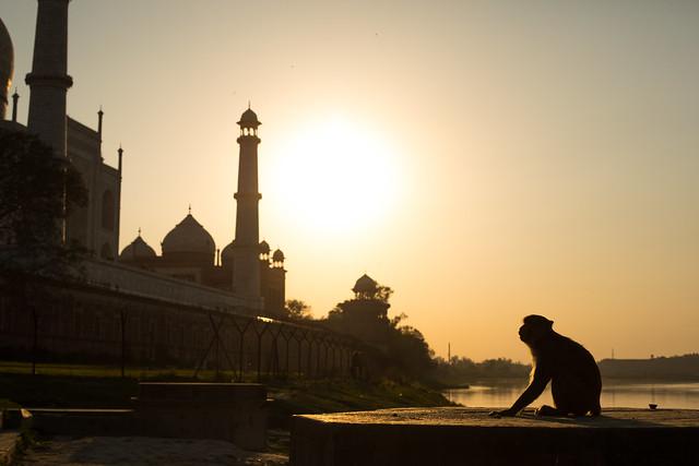 Monkey Love, Taj Mahal