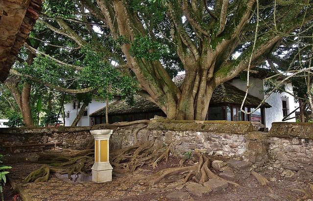 MEXICO, Hazienda-Parador Museo Santa Maria, tree,  19451/12275