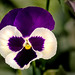 Pansy at PGC 3-0 F LR 10-4-19 J062