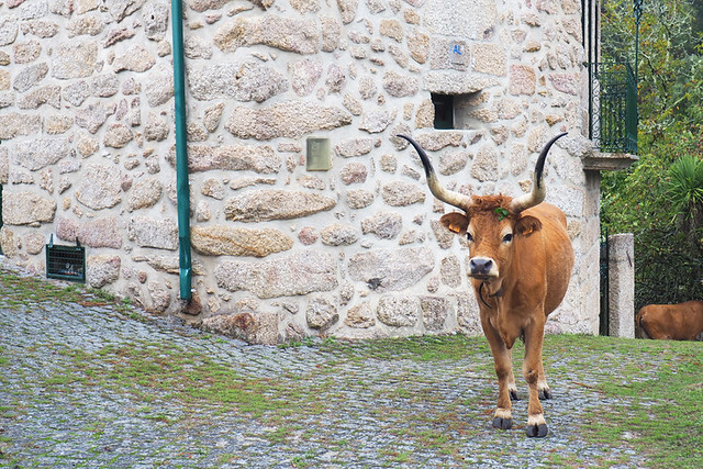 Peneda to Soajo route, Cachena cattle on the path, common in the village of Soajo, Peneda Geres
