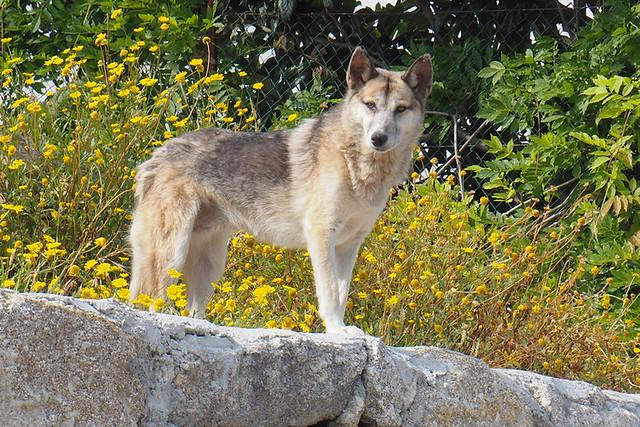 Iberian wolf beside path, Sao Bento to Pousada de Amares, Peneda Geres