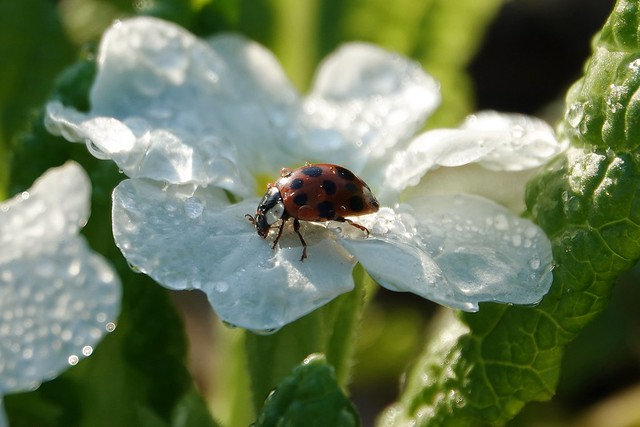 Ladybug among the dew drops