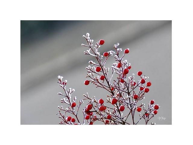 Rouge et blanc givré ....