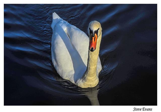 Sefton Park Swan