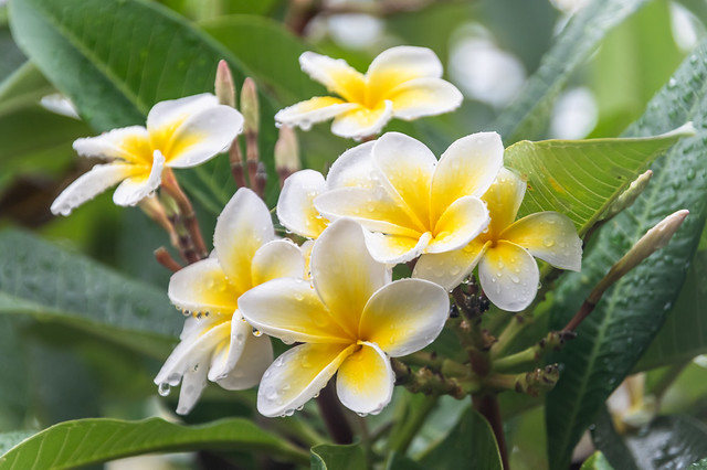 Frangipani Flowers with Rain Drops