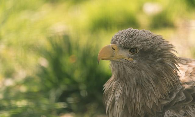 Ivan the Eagle.