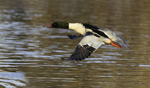 In flight Goosander | by Gary Cantwell