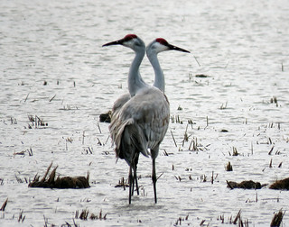 Sandhill cranes, Llano Seco, CA