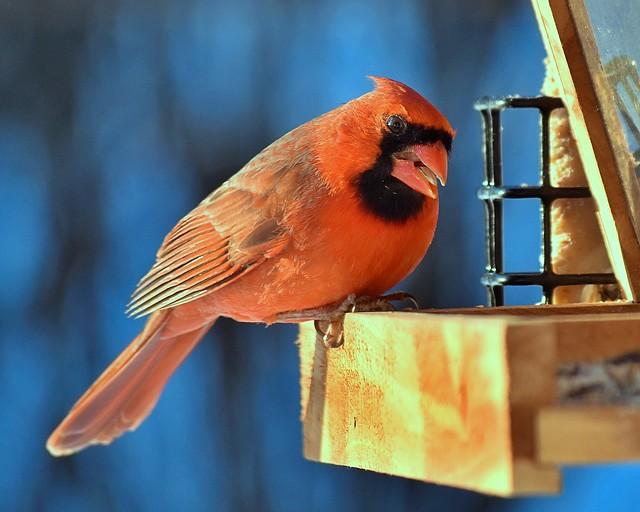 Male cardinal bird
