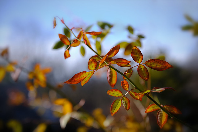 Bright And Colorful Winter Rose Leaves